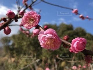 梅花の写真・画像素材[1768371]