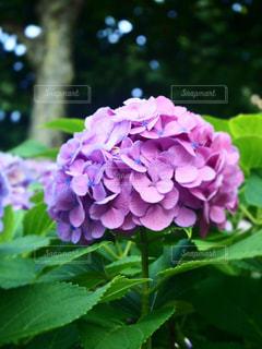 ピンク紫の紫陽花の写真・画像素材[1747700]