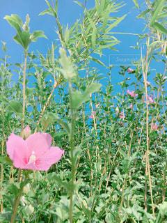青空とピンクの花の写真・画像素材[1747826]