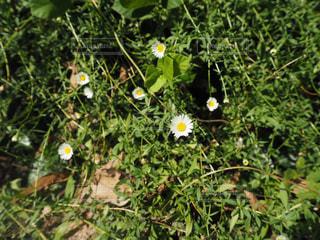 白い小さな花の写真・画像素材[1747942]