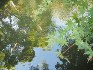 鯉のいる池の写真・画像素材[1747943]