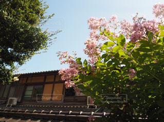 サルスベリの花と建物の写真・画像素材[1751463]