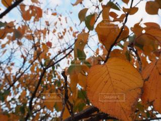 紅葉している木の写真・画像素材[1751505]