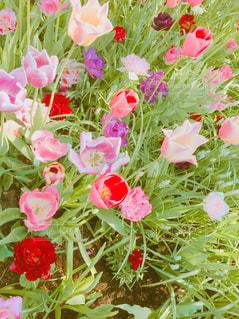 様々な色のチューリップの写真・画像素材[1753264]