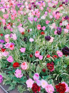 ピンクのチューリップ畑の写真・画像素材[1753267]