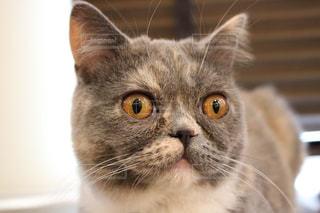 見つめる猫の写真・画像素材[1753275]