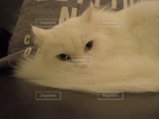 白猫の写真・画像素材[1753284]