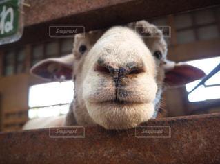 マザー牧場の羊の写真・画像素材[1755220]