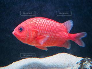 赤と黒の魚の写真・画像素材[1755243]