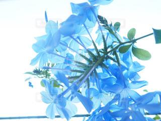 ルリマツリの花アップの写真・画像素材[1824030]