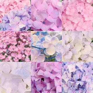 パステルカラーの紫陽花の写真・画像素材[1824041]