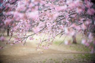 河津桜2の写真・画像素材[4160888]
