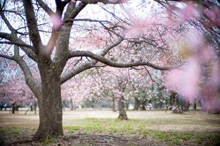 河津桜3の写真・画像素材[4160903]