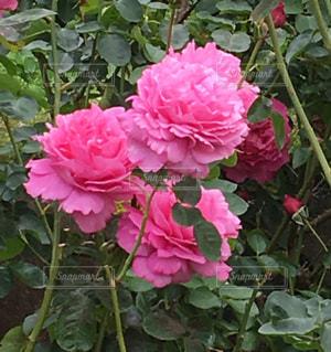 薔薇園に咲く薔薇の写真・画像素材[1751443]
