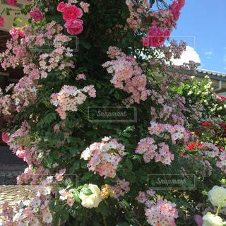 薔薇園のアーチに控えめに咲く薔薇の写真・画像素材[1751491]