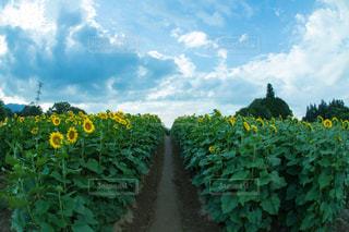 空とひまわり畑 - No.725011