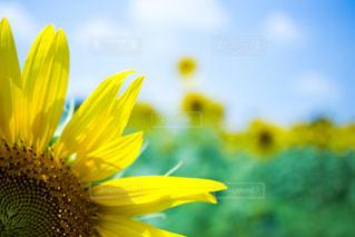 黄色の花 - No.814127