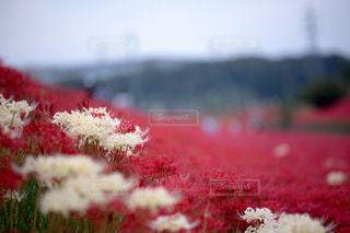 赤い花のぼやけた画像の写真・画像素材[814839]