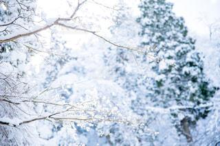 雪に覆われた木の写真・画像素材[985549]
