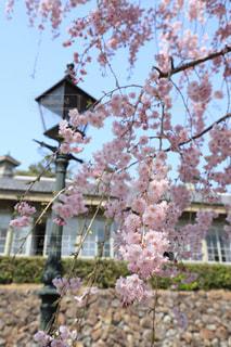 明治村の八重枝垂桜の写真・画像素材[1805404]
