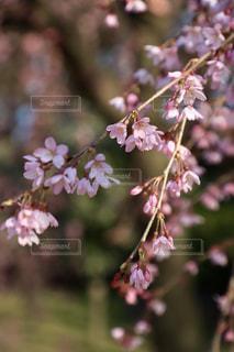 枝垂れ桜の写真・画像素材[1805407]