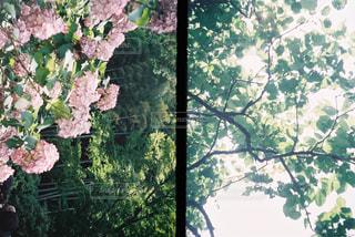 紫陽花の写真・画像素材[2293297]