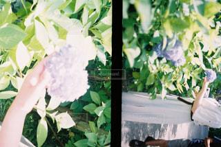 紫陽花の写真・画像素材[2293298]