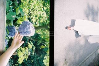 紫陽花の写真・画像素材[2293301]