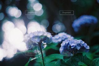 紫陽花の写真・画像素材[2293330]