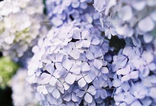 紫陽花の写真・画像素材[2293331]