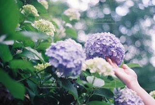 紫陽花の写真・画像素材[2293333]