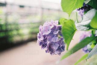 紫陽花の写真・画像素材[2293342]
