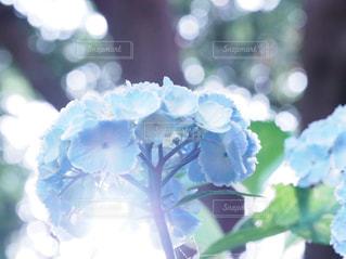 紫陽花の写真・画像素材[2293348]