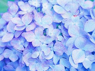 紫陽花の写真・画像素材[2293365]