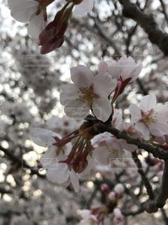 桜の写真・画像素材[1752276]