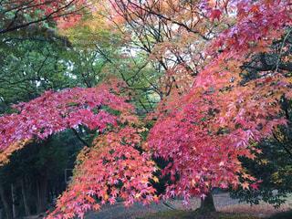 ピンクの花の木の写真・画像素材[1753036]