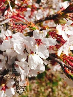 一昨年に撮った桜の写真・画像素材[1755830]