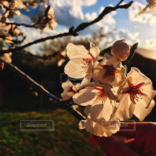 桜と夕焼けの写真・画像素材[1755831]