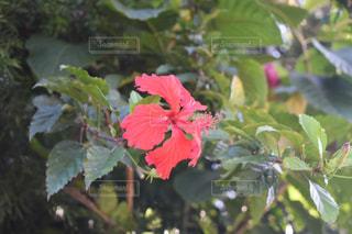 ハイビスカスの花の写真・画像素材[1754217]