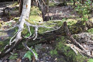 ハワイ島キラウエア火山公園内の樹木の写真・画像素材[1754265]