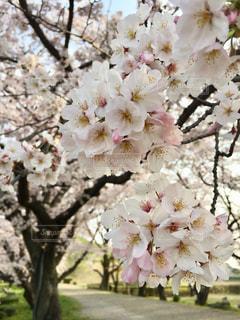 満開の桜の写真・画像素材[1982833]