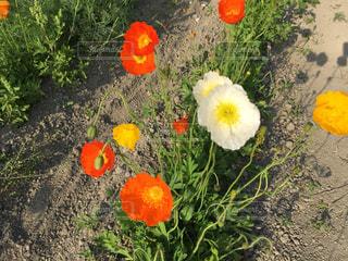 草の上に横たわっている花の写真・画像素材[2117428]