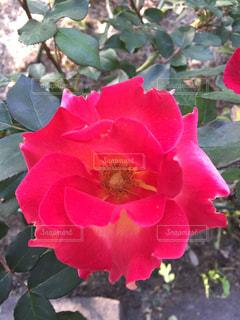 緑の葉を持つ赤い花の写真・画像素材[2117439]