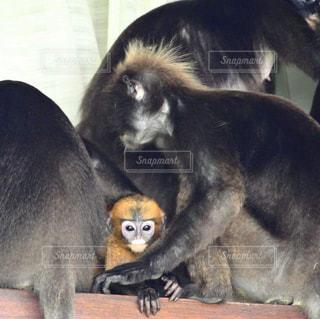 家族に囲まれている猿の子供の写真・画像素材[1755999]