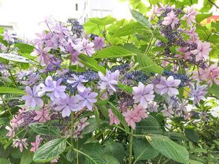 ピンクと紫の紫陽花の花②の写真・画像素材[2304581]