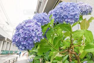 線路沿いに咲いた、紫陽花の花の写真・画像素材[2304588]