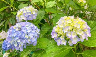 紫〜青の紫陽花の写真・画像素材[2304593]