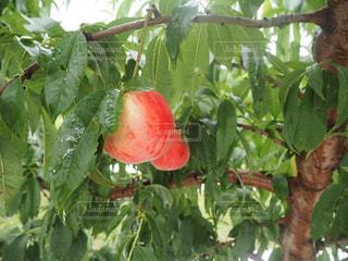 近くの枝からぶら下がって果物の写真・画像素材[1755695]