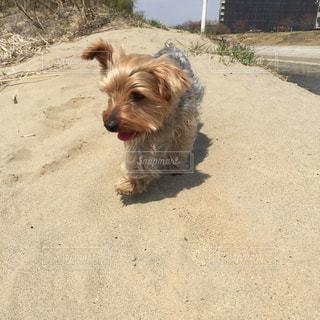 茶色と白の小型犬 ヨークシャーテリアの写真・画像素材[1756335]