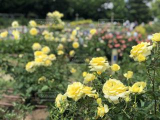 黄色いバラの写真・画像素材[1757522]